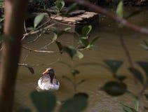 Гусыня в озере стоковое изображение rf