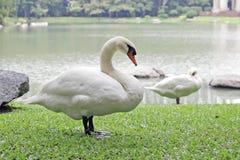Гусыня в парке Стоковая Фотография