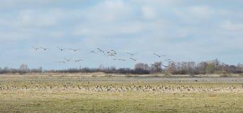 Гусыня в поле потока Стоковые Фото