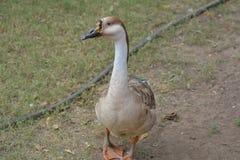 Гусыня лебедя с голубыми глазами идя на траву Стоковые Изображения