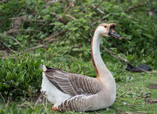 Гусыня лебедя Стоковые Фото