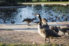 Гусыня есть хлеб озером Стоковая Фотография RF