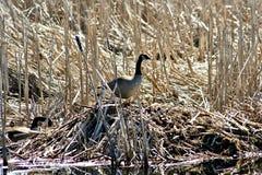 Гусыня и гнездо Канады в топи Стоковое Фото