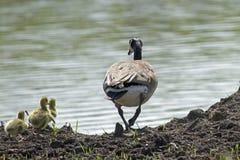 Гусыня и гусята Канады Стоковое Изображение