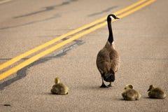 Гусыня и гусята на дороге Стоковое Фото