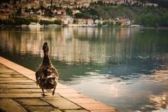 Гусыня идя рядом с озером Стоковое Изображение RF