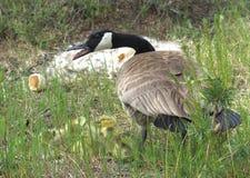 Гусыня Канады защищает ее гусят Стоковые Изображения RF