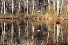 Гусыня Канады плавая в пруд стоковое фото rf