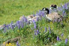 Гусыня Канады в национальном парке Йеллоустона стоковые фотографии rf