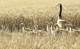 Гусыня Канады и ее гусята идя через пшеничное поле Стоковая Фотография
