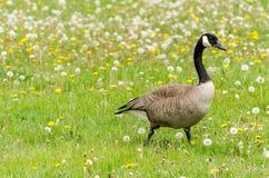 Гусыня Канады идя на траву Стоковое Фото