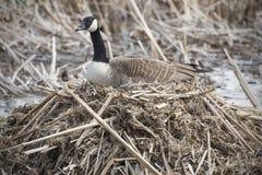 Гусыня Канады на гнезде в болоте, предыдущей весне, Массачусетсе Стоковая Фотография RF