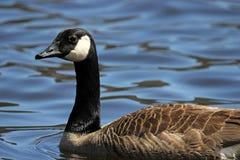 Гусыня Канады на озере Стоковые Изображения RF
