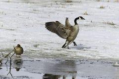 Гусыня Канады на льде Стоковая Фотография