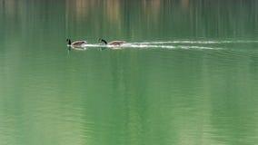 Гусыня Канады полоща быстро на озере Стоковое Изображение RF