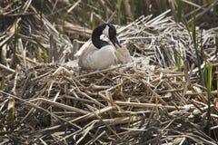 Гусыня Канады сидя на гнезде на больших лугах, Массачусетсе Стоковое фото RF