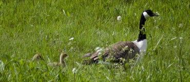 Гусыня Канады с гусятами Стоковое Фото