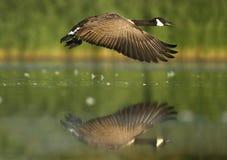 Гусыня Канады, canadensis чёрной казарки Стоковые Фотографии RF