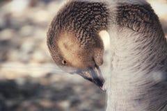 Гусыня лебедя стоковая фотография