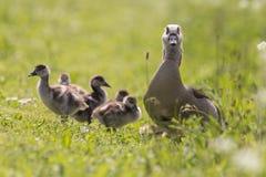 Гусыня матери защищая ее цыпленоки Стоковая Фотография