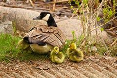 Гусыня матери канадская наблюдая ее заново насидела гусят Стоковое Фото