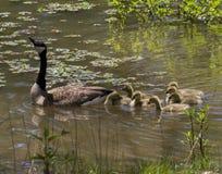 Гусыня матери Канады и младенцы Gosling Стоковые Изображения
