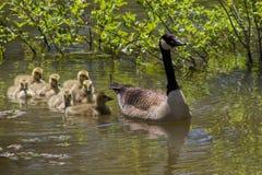 Гусыня матери Канады и младенцы Gosling Стоковое Изображение