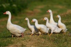 Гусыня матери маршируя с ее цыплятами Стоковые Фото