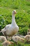 Гусыня матери с его младенцами Стоковые Фото