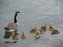 Гусыня & младенцы Стоковое фото RF