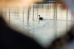 Гусыня на воде Стоковые Изображения