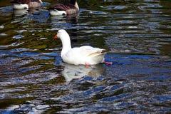 Гусыня на воде Стоковая Фотография
