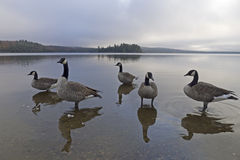 Гусыня на озере 2 рек Стоковое Изображение RF