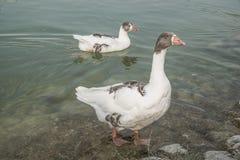 Гусыня на озере Стоковое Изображение RF