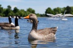 Гусыня плавая на озеро в Гайд-парке, Лондоне стоковые фото