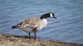 Гусыня смотря в озеро Стоковые Фото