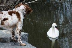 Гусыня собаки наблюдая в пруде Стоковое Фото