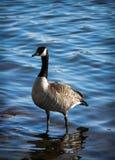 Гусыня стоя в воде Стоковые Фотографии RF