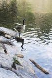 Гусыня стоя на утесе на озере на восходе солнца Стоковое Изображение