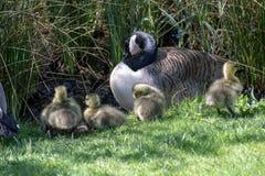 Гусыня с их гусятами младенца Стоковая Фотография RF