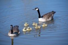 Гусыня с их гусятами младенца Стоковая Фотография