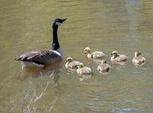 Гусыня с их гусятами младенца Стоковое Изображение