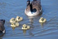 Гусыня с их гусятами младенца Стоковое Изображение RF