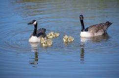 Гусыня с их гусятами младенца Стоковые Изображения RF