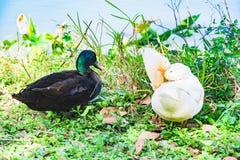 Гусыня утки и Embden Mullard на озере стоковая фотография rf