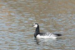 Гусыня щипцев или leucopsis чёрной казарки Одичалая птица на воде Стоковые Изображения RF