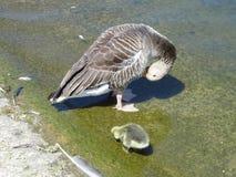 Гусыня Greylag и гусенок Стоковые Фотографии RF