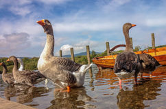 Гусыня Greylag на воде Derwent, Keswick, Великобритании Стоковая Фотография