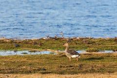 Гусыня Greylag на пляже Стоковые Фотографии RF