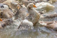 Гусыня Greylag прихорашиваясь и брызгая в воде стоковое изображение rf